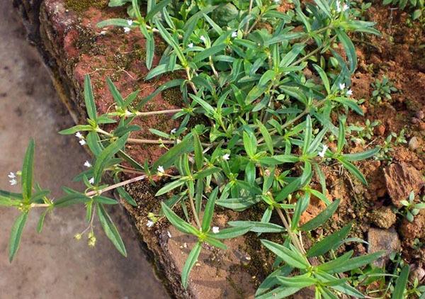 白花蛇草的功效与作用及食用方法
