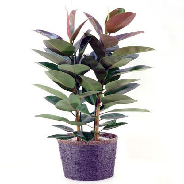 招财又旺宅的植物