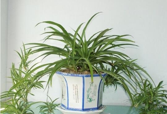 房子装修好放什么植物吸收甲醛好又快?极力推荐这五种!