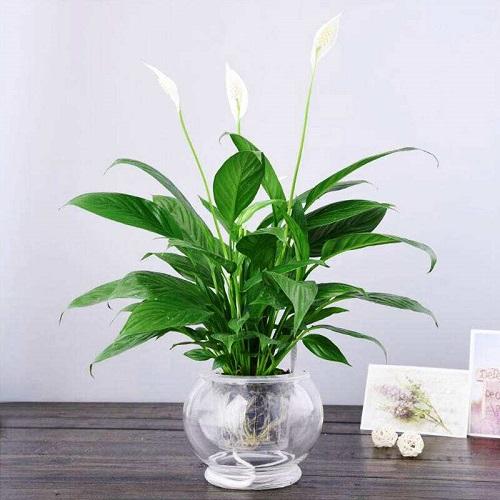 什么植物可以养在卧室?卧室放绿植好吗?