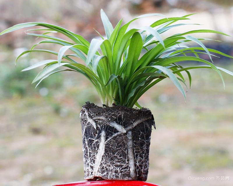 吊兰繁殖生根方法及注意事项