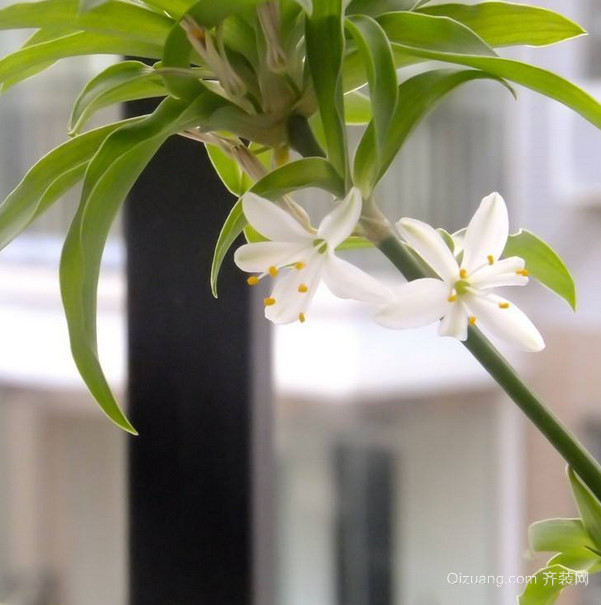 吊兰开花有什么兆头