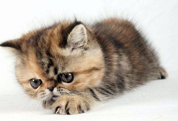 家里養貓有什么風水說法