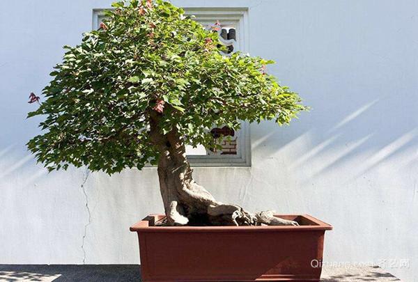 三角枫盆景如何剪枝养护
