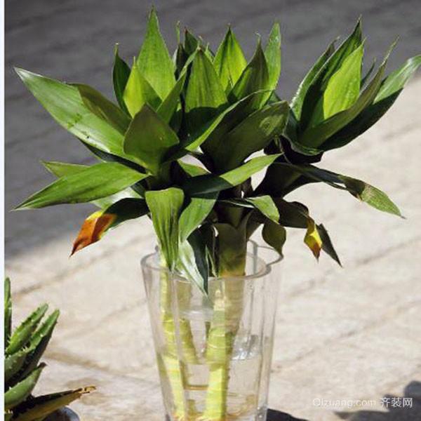 观音竹和富贵竹的区别