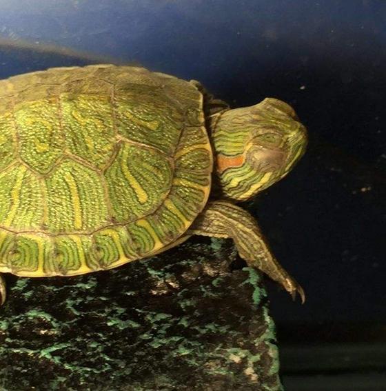 家里养乌龟对女人不好的说法