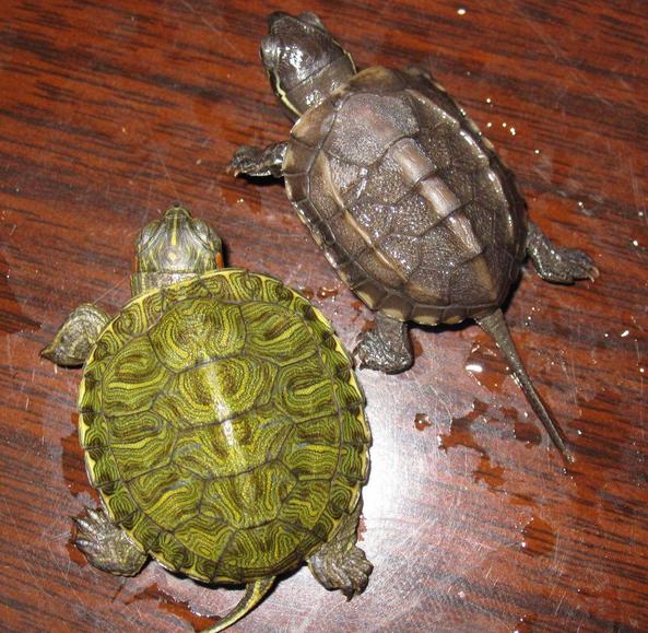 家里养乌龟风水