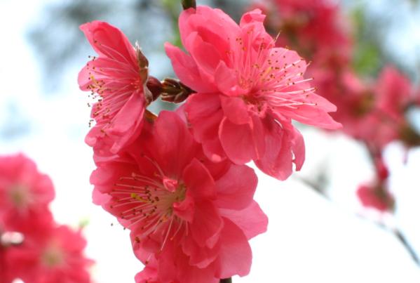 桃花能放在家里吗
