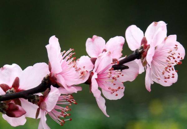 桃花放家里有什么讲究