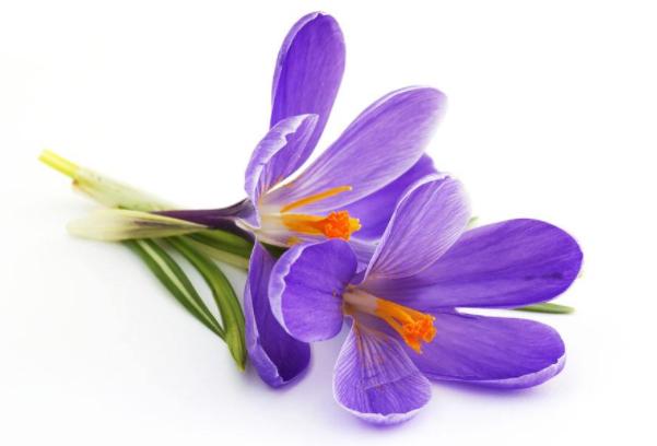 紫罗兰花语寓意