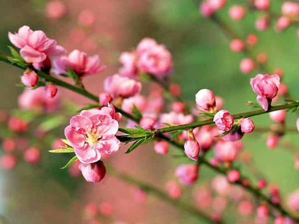 桃花放在家里哪个位置