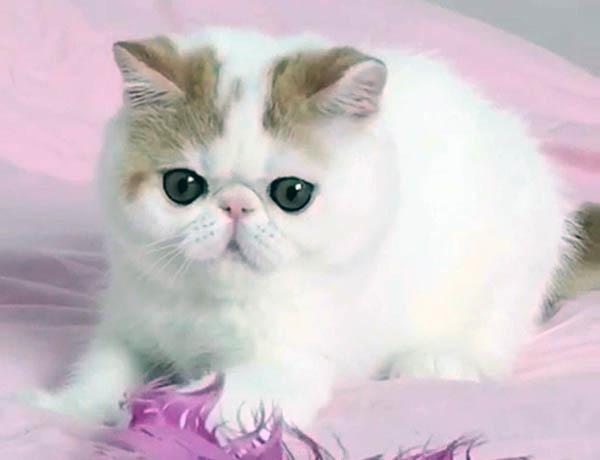 加菲猫性格的优点和缺点