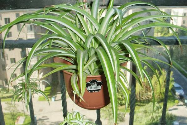 新房除甲醛植物有哪些