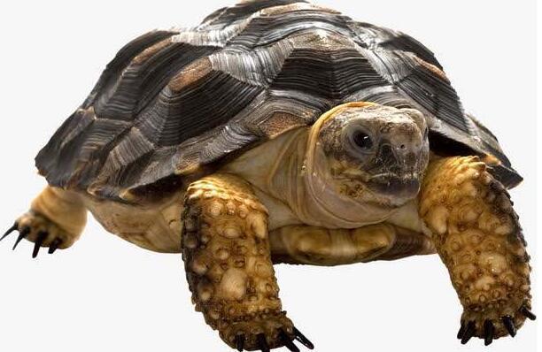 麒麟龟为什么难养
