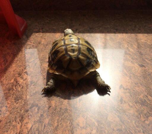 麒麟龟喂养