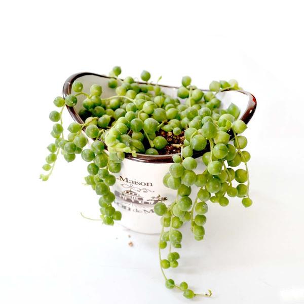 珍珠吊兰多少钱一盆