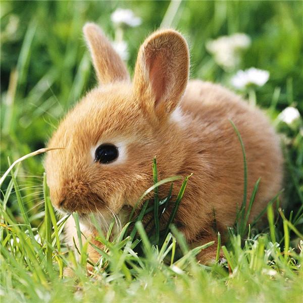 兔子公母怎么区分