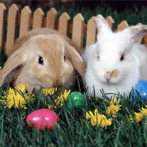 成年兔子怎么看公母