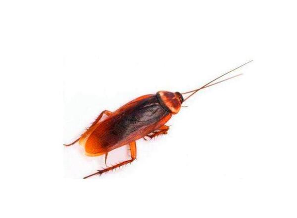 家里有蟑螂怎么办