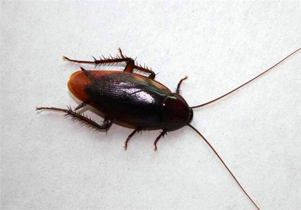家�Y有蟑螂怎麽能除根