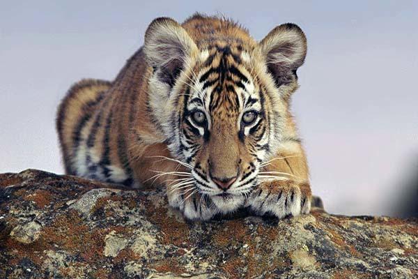 1986年属虎是什么命