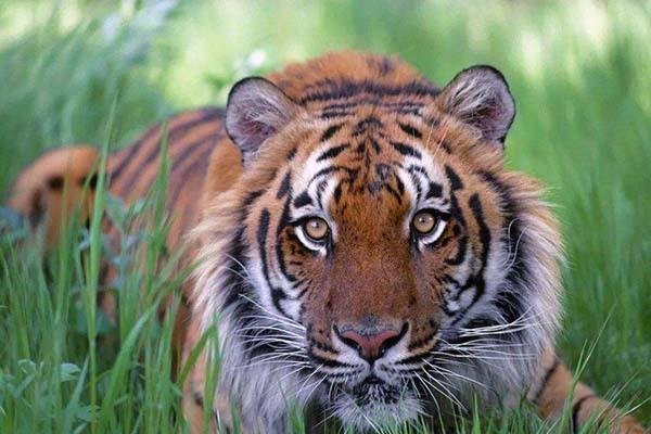 属虎是什么命
