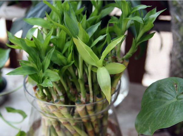 发财树和富贵竹哪个更好养