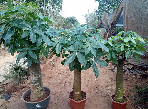 发财树富贵竹摆放位置