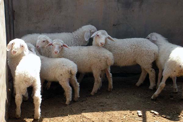 属羊的几月出生最好