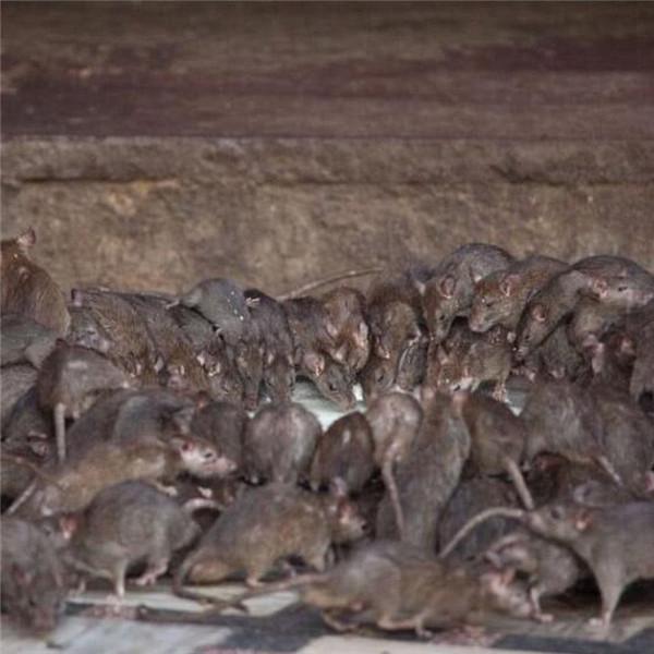 女人夢見老鼠什么征兆