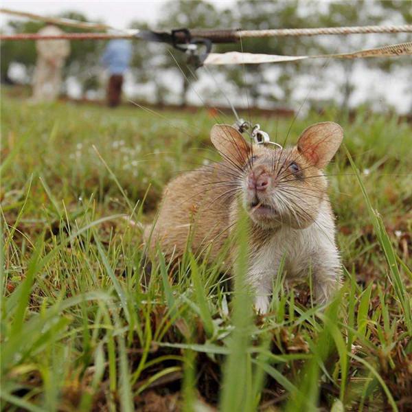 女人夢見老鼠要生女兒嗎