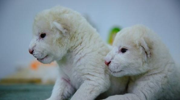 济南双胞胎白狮