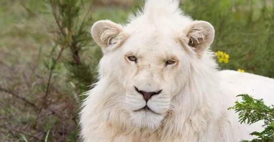 白狮是什么狮子