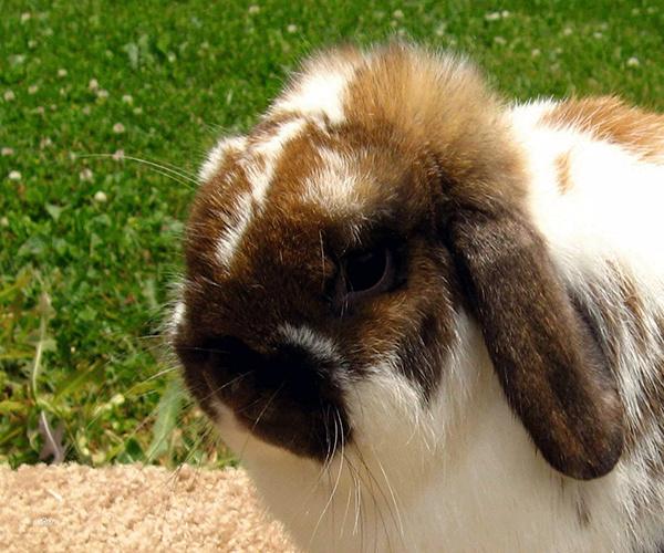 法国垂耳兔的年寿命