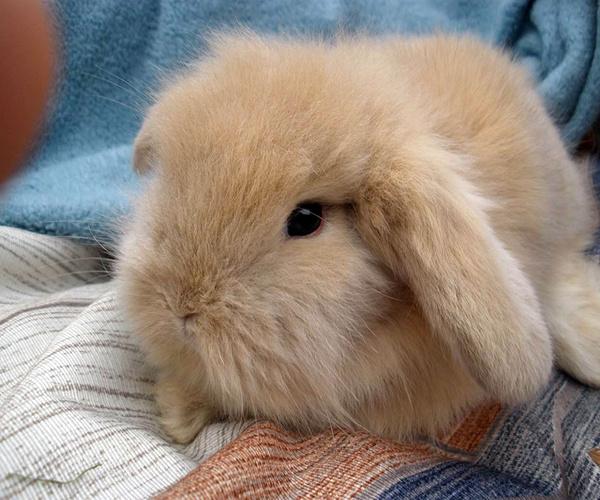 法国垂耳兔长大后