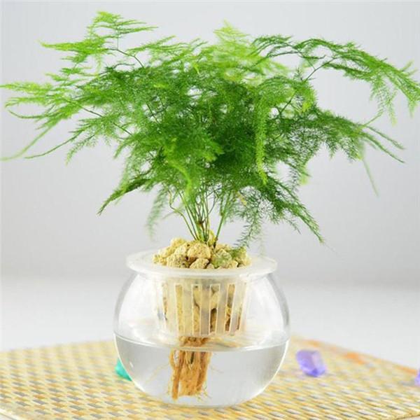 为什么家里不能养文竹