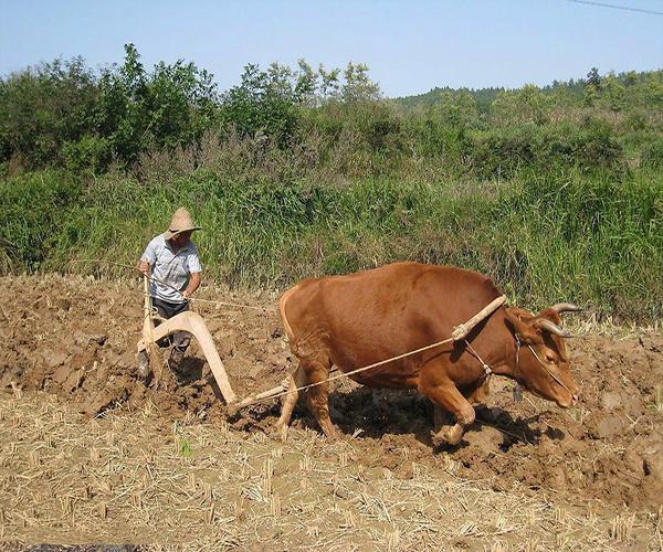 黄牛的象征意义是什么