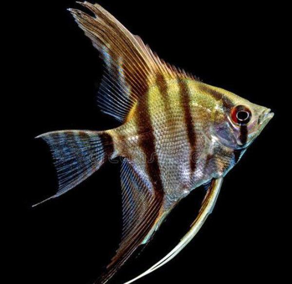 神仙鱼和什么鱼混养好