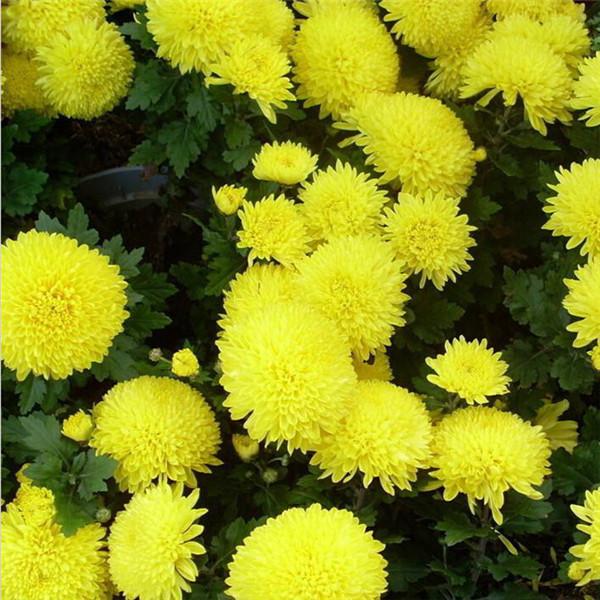 菊花是什么季节开的