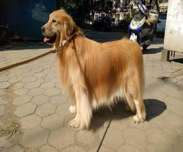 賽級金毛幼犬多少錢