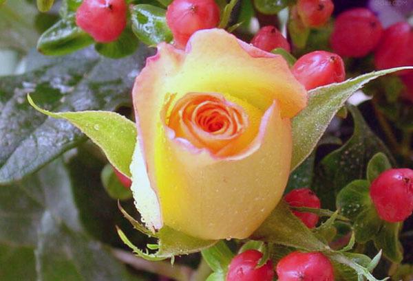 黄玫瑰送女友什么意思