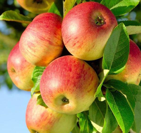 苹果的储存和保鲜方法