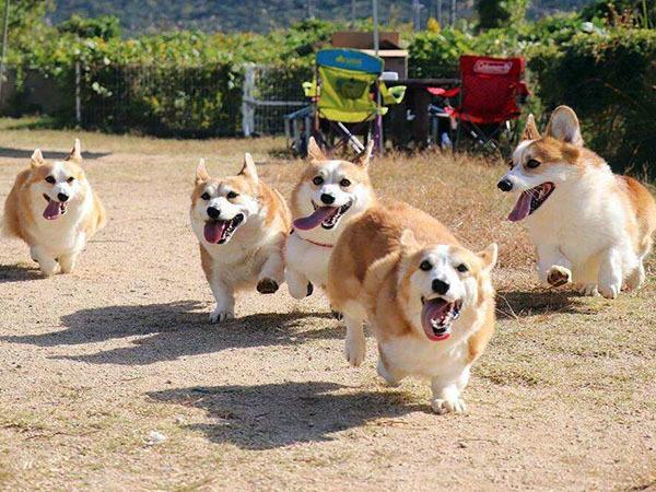 梦见养了一群狗
