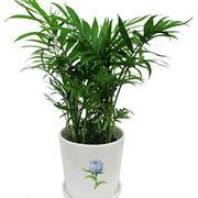 盆栽竹系植物