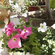 红白相间的花卉式盆栽