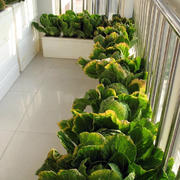 阳台盆栽设计图片