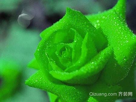 绿玫瑰的花语