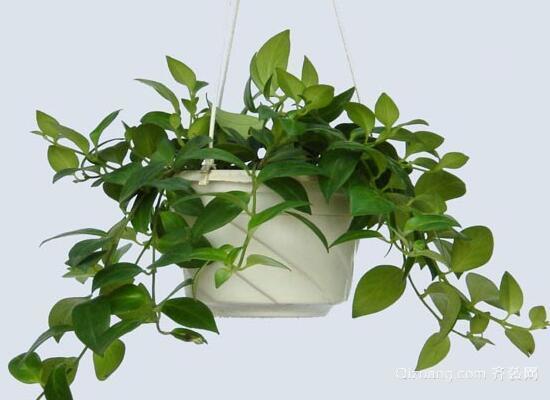 吸甲醛的植物