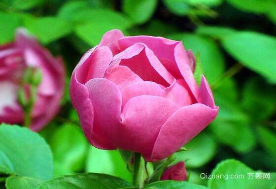 野蔷薇观赏图