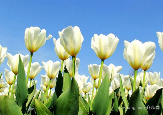 白色郁金香欣赏图